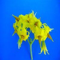 Генmua– сложное разветвленное соцветие