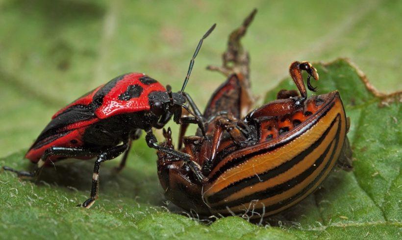 Краснодарские ученые предлагают натравить на колорадских жуков хищных клопов